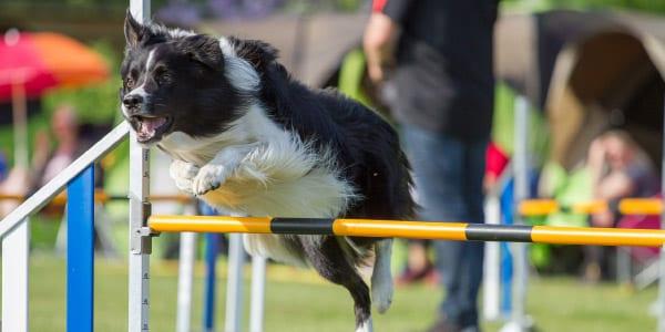 Agility Behavior Dog Training Heather Adams KPA CTP, CBATI